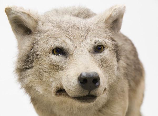 """Besuch der Sonderausstellung """"Wölfe"""" am 01.12.2015"""